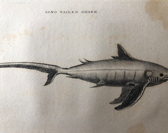 1812 Long Tailed Shark Original Antique Engraving - Ichthyology - Fish Art - Fishing Cabin Decor - Available Framed