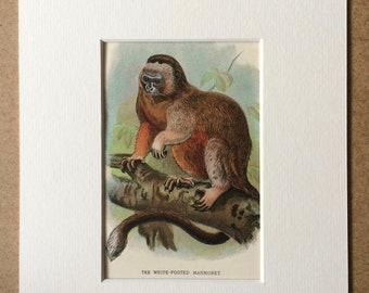 1896 White-Footed Marmoset Original Antique Chromolithograph - Wildlife - Natural History - Mounted and Matted - Available Framed