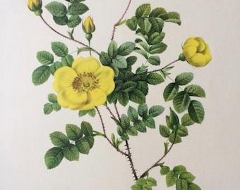 1955 Original Vintage Redoute Rose Illustration - Botanical Decor - Rosa Eglanteria Luteola - Botany - Flower Illustration
