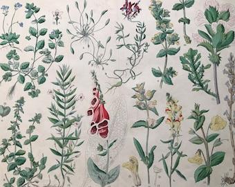 1880 Large Original Antique Botanical Lithograph - Botanical Print - Botany - Plants - Botanical Art - Wall Decor - Foxglove - Toadflax