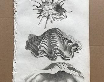 1809 Spondylus Gaedaropus and Chama Gigas or Great Champ Shell Original Antique Engraving - Marine Decor - Ocean Wildlife