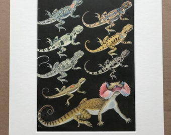 1968 Original Vintage Agama Print - Reptile - Mounted and Matted - Available Framed - Toadhead Agama - Lizard Species