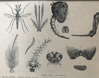 1896 House Gnat Original Antique Print - Entomology - Insect - Mounted and Matted - Available Framed