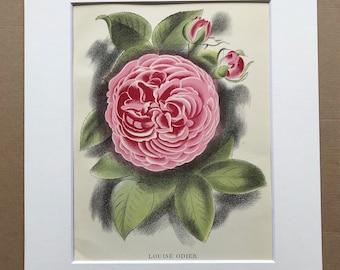 1939 Louise Odier Rose Original Vintage Print - Mounted and Matted - Botanical Illustration - Flower Art - Retro Decor - Available Framed