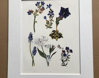 1924 Original Vintage Botanical Print - Hyacinth, Gentianella - Flower - Garden - Horticulture - Mounted and Matted - Available Framed