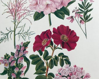 1924 Original Vintage Botanical Print - Rhododendron, Laurel - Garden - Horticulture - Mounted and Matted - Available Framed