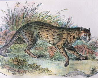1896 Leopard Cat (Javan Variety) Original Antique Chromolithograph - Wildlife - Natural History - Mounted and Matted - Available Framed