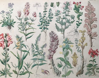 1880 Large Original Antique Botanical Lithograph - Botanical Print - Botany - Plants - Botanical Art - Wall Decor - Toothwort - Broomrape