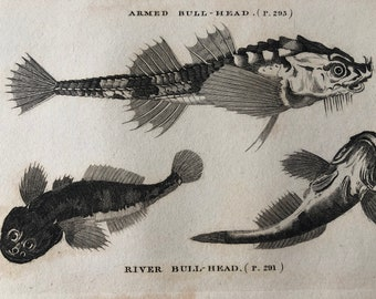 1812 Armed Bull-Head and River Bull-Head Original Antique Engraving - Ichthyology - Fish Art - Fishing Cabin Decor - Available Framed