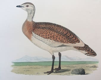 1903 Great Bustard Original Antique Matted Hand-Coloured Engraving - Ornithology - Available Framed - Wildlife - Decorative Art - Game Bird