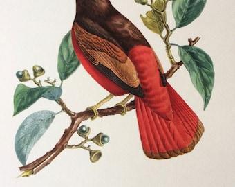 1960 Large Original Vintage Bird Print, 11.5 x 17 inches, Cotinga Ouette, Vintage Decor, Ornithology, Tropical Colourful Wall Art