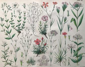 1880 Large Original Antique Botanical Lithograph - Botanical Print - Botany - Plants - Botanical Art - Wall Decor - Flower - Dianthus