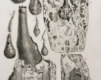 1836 Original Antique Engraving - Fossil Pens and Ink Bags of Loligo - Geology - Fossil - Palaeontology - Decorative Art
