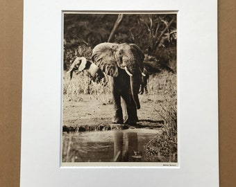 1940s African Elephant Original Vintage Print - Wildlife - Natural History - Mounted and Matted - Available Framed