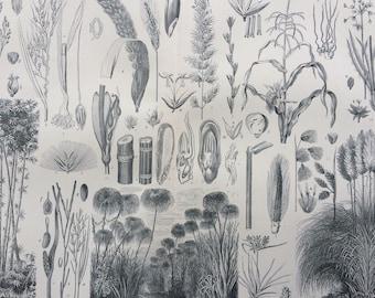1904 Grasses and their allies Original Antique Print - 10 x 12 inches - Botanical Wall Decor - Victorian Art