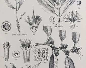 1891 Myrtaceae Original Antique Engraving - Encyclopaedia Illustration - Botanical wall decor - home decor - Botany - Eucalyptus