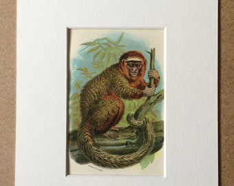 1896 The Red Titi Original Antique Chromolithograph - Wildlife - Natural History - Mounted and Matted - Available Framed