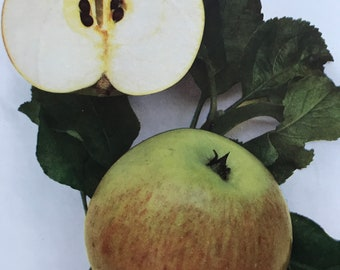 1948 Newton Wonder Apple Original Vintage Fruit Print - Country Kitchen Decor - Botanical Art - Mounted and Matted - Available Framed