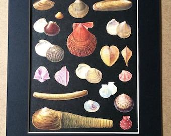 1968 Original Vintage Shell Print - Marine Decor - Available Framed - 14 x 11 inches - Marine Wildlife - Mollusc - Seashell