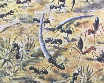 1984 Harvester Ants Original Vintage Print - Entomology - Insect Art - Mounted and Matted - Available Framed