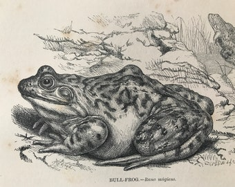 1863 Bullfrog Original Antique Print - Amphibian - Natural History - Mounted and Matted - Available Framed