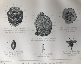 1880 The Abdominal Viscera, Kidneys & Co - Gadfly and Bot Fly Original Antique Print - Mounted and Matted - Available Framed