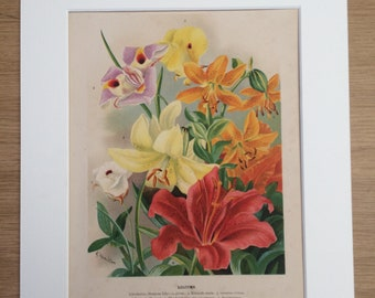1898 Beautiful Large Antique Flower Print - Liliums - Lily - matted and available framed - 11 x 14 inches - Gardening - Botanical Decor