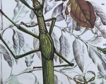 1984 Tropical Stick Insects Original Vintage Print - Insect Art - Mounted and Matted - Available Framed
