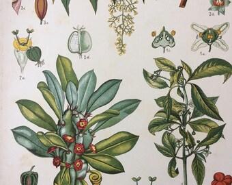 1885 Large Original Antique Lithograph - Botanical Art - Botany - Flowering Plant - Flower - Vintage Wall Decor - Antique Poster