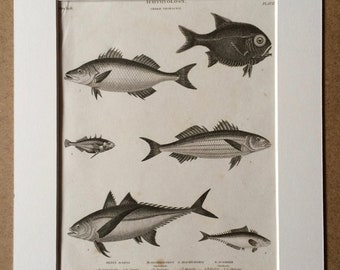 1819 Original Antique Engraving - Stickleback and Mackerel - Fish - Ichthyology - Marine Decor - Available Matted and Framed