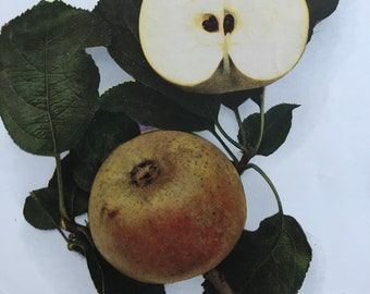 1948 Orleans Reinette Apple Original Vintage Fruit Print - Country Kitchen Decor - Botanical Art - Mounted and Matted - Available Framed