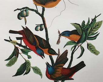 Painted Finch (Fringilla Ciris) Large Original Vintage 1964  Audubon Print, 14 x 17 inches, Bird Decor, Vintage Decor, Ornithology
