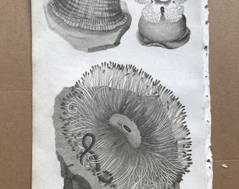 1809 Actinia Cereus or Rose-Tipped Actinea Original Antique Engraving - Sea Anemone - Marine Decor - Ocean Wildlife