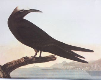 1937 Noddy Tern Original Vintage Audubon Print, Matted and Available Framed 14 x 11 inches, Bird Decor, Vintage Decor, Ornithology