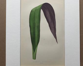 1872 Original Antique Hand Coloured Botanical Illustration - Botany - Beautiful Leaved Plant - Tradescantia - Available Matted & Framed
