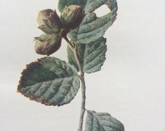 1902 Original Antique Matted Botanical Lithograph - Hazelnut - Botany - Wild Fruit - Flower - Edward Hulme - English Countryside