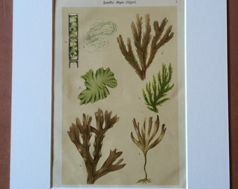 1911 Original Antique Botanical Lithograph - Mounted and Matted - Seaweed - Algae - Marine Decor - Available Framed