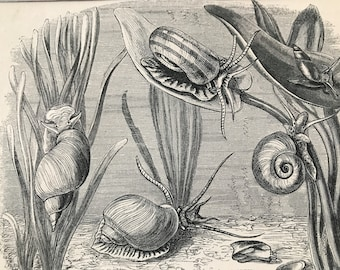 1863 Water Snail, Limpet, Planorbis Original Antique Print - Ocean Wildlife - Marine Decor - Mounted and Matted - Available Framed