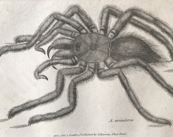 1809 Avicularia Original Antique Engraving - Tarantula - Arachnida - Spider - Entomology - Available Matted and Framed