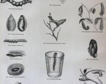 1856 Large Original Antique Insect Engraving - Goat-Moth, Caterpillar, Butterfly, Chrysalis, Brimstone Moth - Entomology - Wall Decor