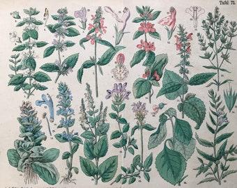 1880 Large Original Antique Botanical Lithograph - Botanical Print - Botany - Plants - Botanical Art - Wall Decor - Lemon Balm - Stachys