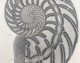 1858 Original Antique Engraving - Nautilus Striatus in Lias at Whitby - Palaeontology - Mounted and Matted - Framed Art - Fossil - Geology