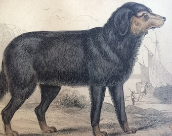 1860 Newfoundland Dog - Original Antique Hand-Coloured Engraving - Matted and Available Framed - Canine Wall Decor