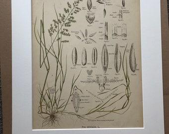 1889 Original Antique Botanical Chromolithograph - Rough-Stalked Meadow Grass - Forage Plants - Botanical Print - Agrostology - Wall Decor