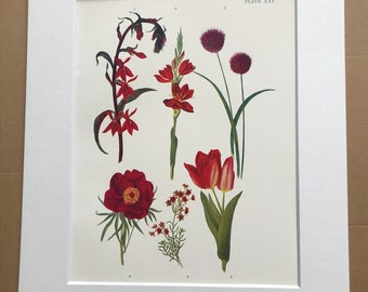 1924 Original Vintage Botanical Print - Lobelia, Lily, Tulip - Garden - Horticulture - Mounted and Matted - Available Framed