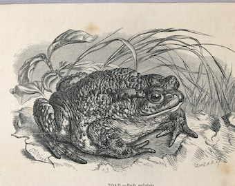 1863 Toad Original Antique Print - Amphibian - Natural History - Mounted and Matted - Available Framed