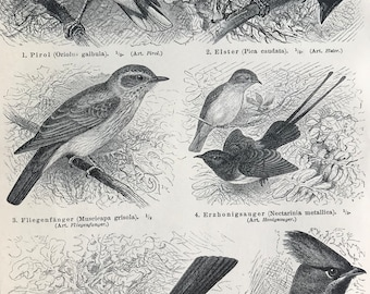 1897 Oriole, Magpie, Sunbird, Jay, Bohemian Waxwing Original Antique Print - Mounted and Matted - Ornithology - Bird Art - Available Framed