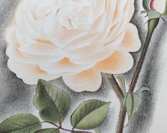1939 Madame Pierre Oger Rose Original Vintage Print - Mounted and Matted - Botanical Illustration - Flower - Retro Decor - Available Framed