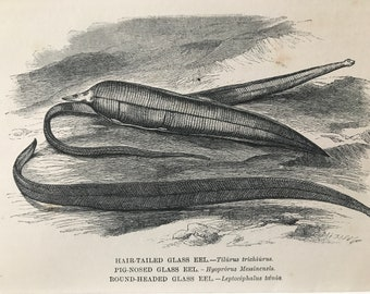 1863 Glass Eel Varieties Original Antique Print - Fish - Ichthyology - Ocean Wildlife - Marine Decor - Mounted and Matted - Available Framed