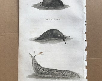 1809 Black Slug and Limax Maximux or Spolled Brown Slug Original Antique Engraving - Entomology - Mollusc
